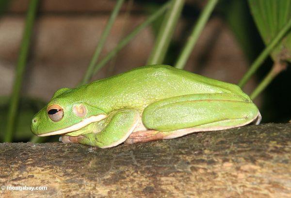 White's Tree Frog (Litorea caerulea)