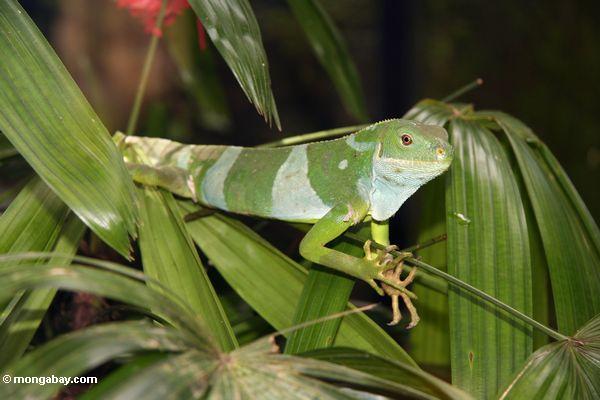 Fijian iguana (Brachylophus fasciatus)