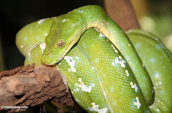 Green Tree Python (Morelia viridis) (Kalimantan, Borneo (Indonesian Borneo))