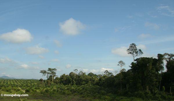 A floresta de chuva cancelou para a plantação da palma de óleo em Malaysia