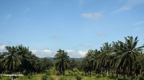 Ölpalme (Elaeis Guineensis) Plantage in Malaysia