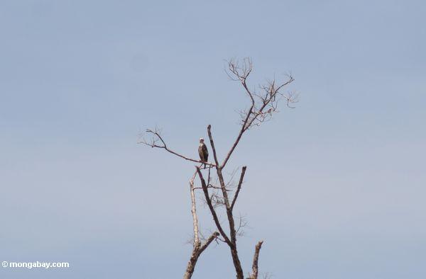 рыба орла в treetop