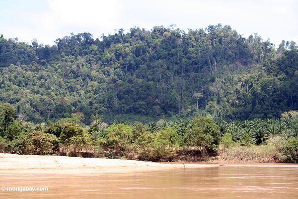 масла пальмовых плантаций вытесняя естественные джунгли в Малайзии