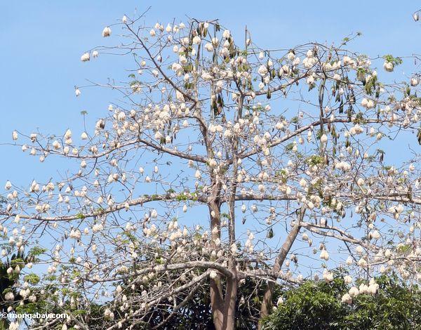 Baum mit Baumwolle-wie Samen strukturiert