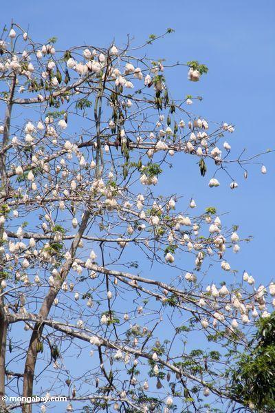 Árvore de floresta da chuva com algodão-como os pods da semente