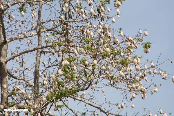 Árvore de Rainforest com algodão-como os pods da semente
