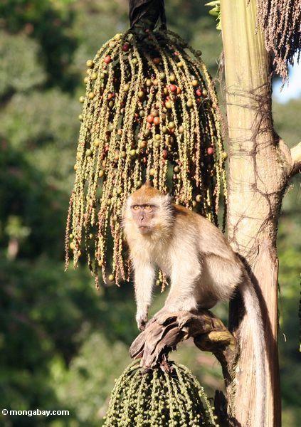 "Lang-angebundenes macaque, das auf Frucht des ""Tukas"" Palme einzieht (Caryota milis)"