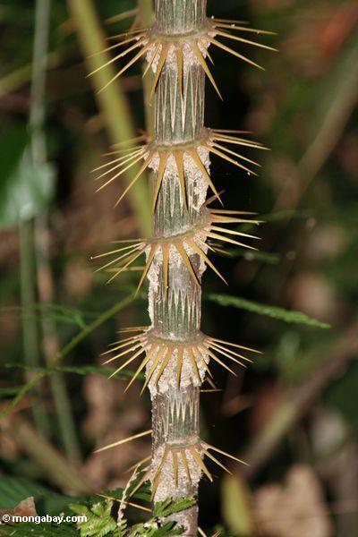 Резкое тернии вокруг стебля бамбука