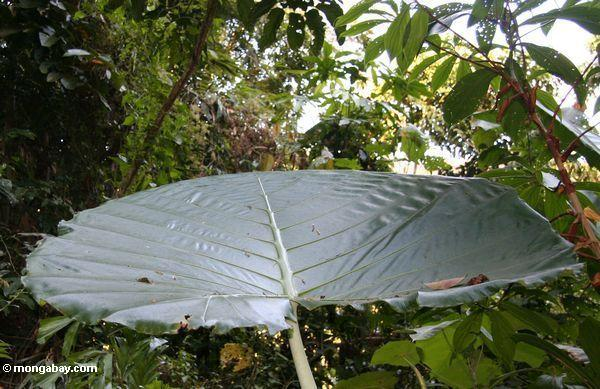 большой зонтик лист