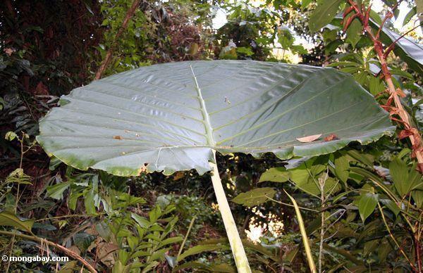 большой зонтик листьев растения в малазийских джунглях