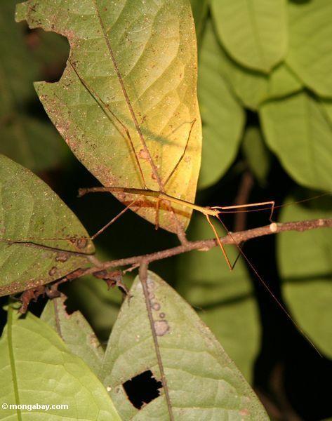 Luz - inseto verde da vara