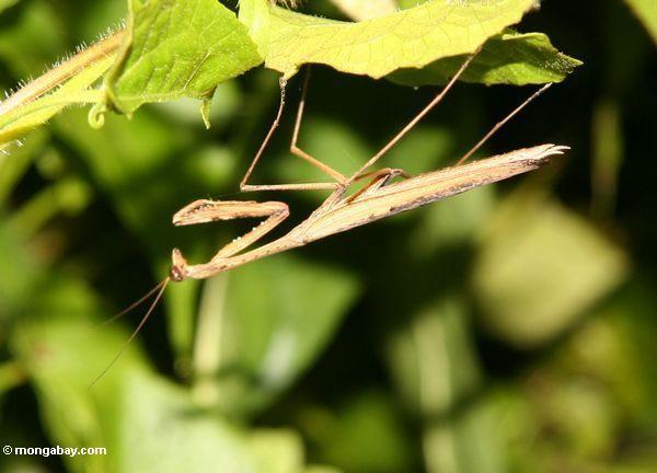 Mantis praying bege