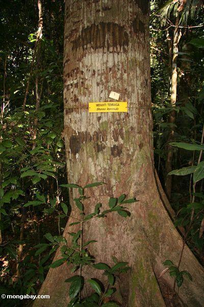 Meranti (Shorea) tree, a value timber species (Taman Negara National Park in Malaysia)