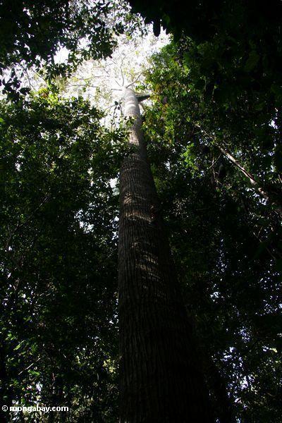 Emergent überdachungbaum, wie von unterhalb Taman