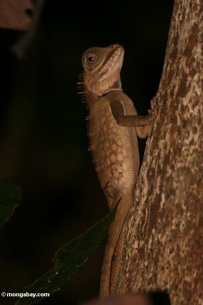Gebirgsgehörnter Dracheeidechse (Acanthosaurus armata)