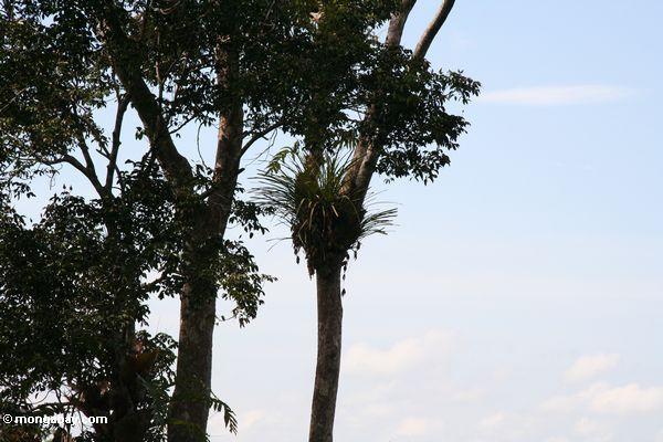 Epiphyte na selva Malaysian