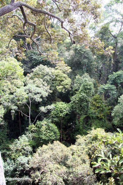Rainforest Canopy—Canopy Trees