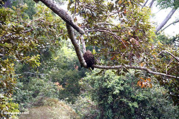 Ruche d'abeille dans un arbre de verrière
