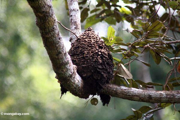 Hive da abelha no dossel o mais rainforest