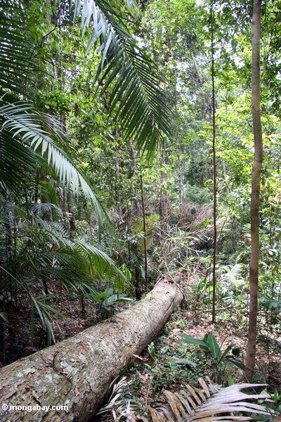 Дерево осенью в малайзийских тропических лесов