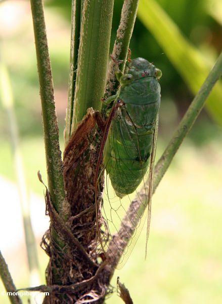 Riesiger grüner Zikade