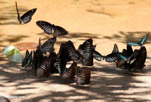 Bunte Schmetterlinge, die auf Mineralien auf einem Flußstrand Taman