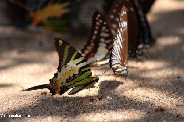 Papillons colorés alimentant sur des minerais sur une plage de fleuve