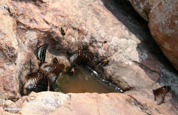 Bunte Schmetterlinge, die auf Mineralien um einen Pfütze Taman