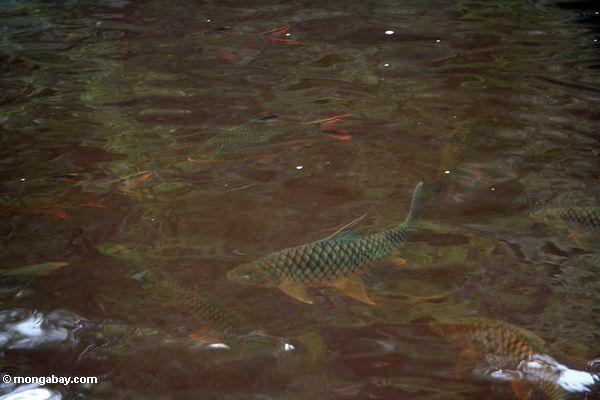 Tambroides do Tor e schwanefeldii de Puntius em seu habitat natural no rio de Tahan do blackwater