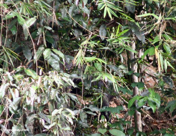 serow или kambing gurun (capricornis sumatrensis) скрытые в растительности