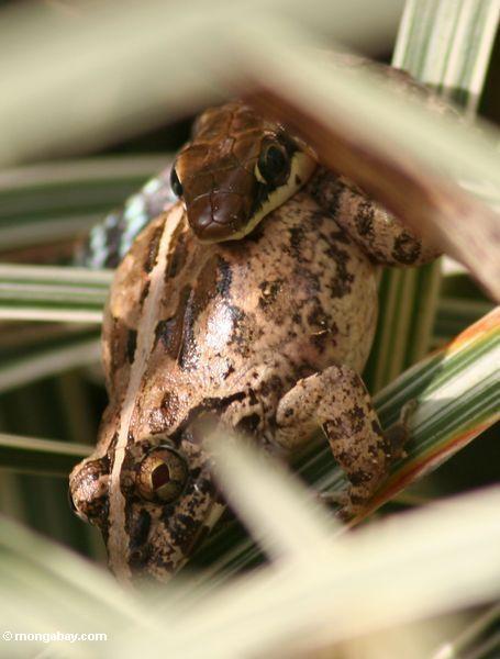 dendrelaphis pictus змеи едят лягушек