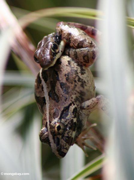 Dendrelaphis pictus Schlange, die einen Frosch Taman