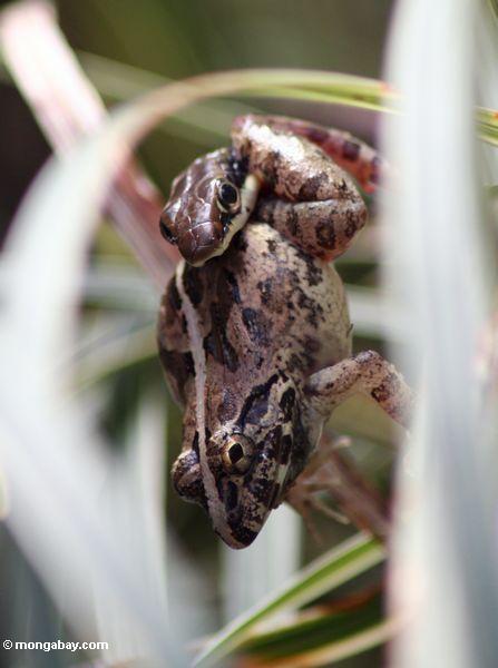 Gemeine Bronzeback Schlange, die einen Frosch Taman