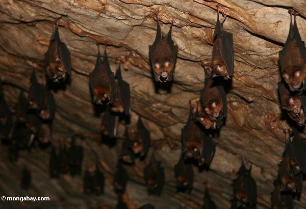 летучих мышей в известняковой пещере Малазийская