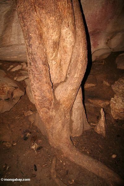 A árvore enraiza o crescimento através do teto de uma caverna