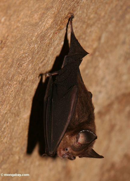 Inseto-comendo o bastão na caverna a mais rainforest