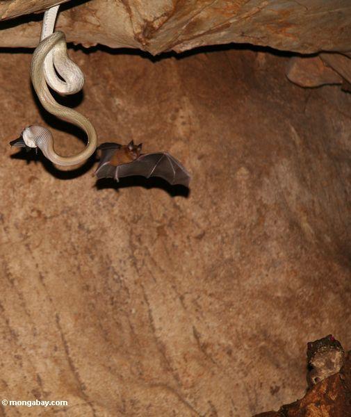 пещерные жилища крысы змеи (elaphe taeniura ridleyi) ест летучих мышей в качестве еще одной мухи на
