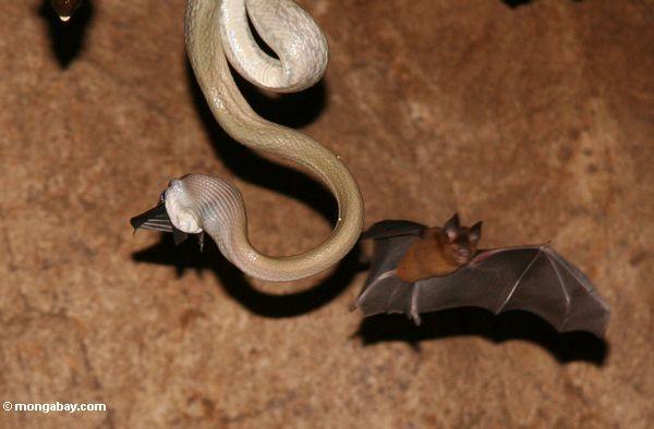пещерные жилища змея (elaphe taeniura ridleyi) ест летучих мышей в качестве еще одной мухи на