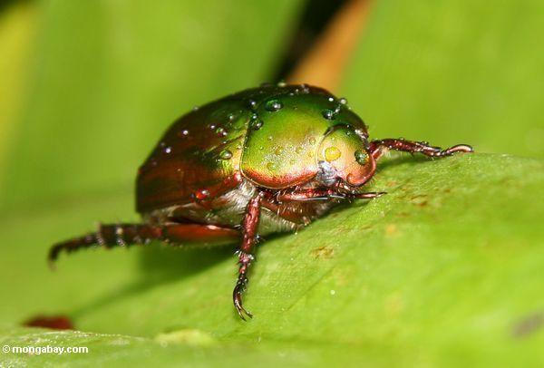 Rainforest beetle in Malaysian Borneo. Photo by: Rhett A. Butler.