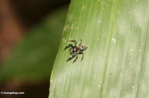 Kleine Spinne im malaysischen Wald