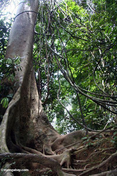 Die verwirrten Lianas (Reben) hängend von einem überdachungbaum mit Strebepfeiler verwurzelt