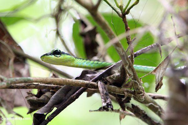 Rebeschlange Malaysia Taman