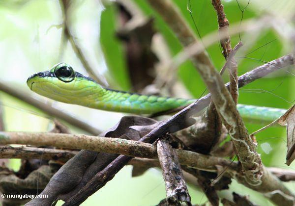 Baumschlange Malaysia