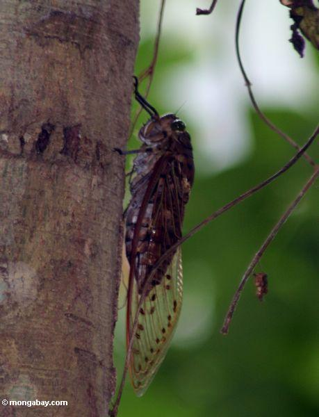 Riesiger brauner Zikade