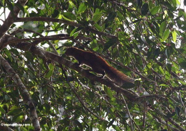 Écureuil rouge de forêt