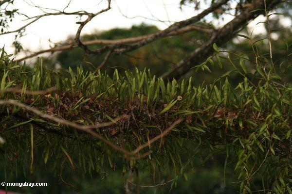 Epiphyes, das auf Baumglied Taman