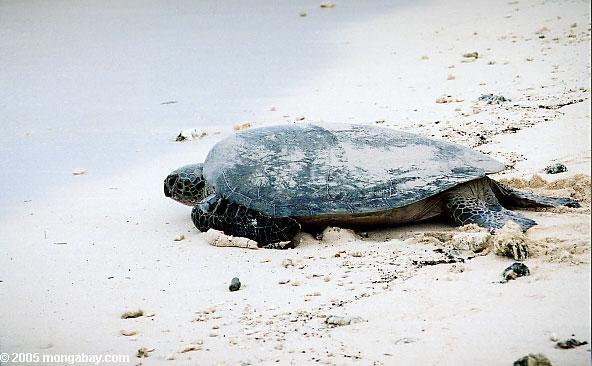 Female green sea turtle, Australia
