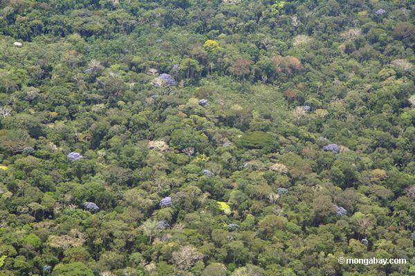 Aerial view of flowering canopy trees in the Amazon. Photo by Rhett A. Butler.