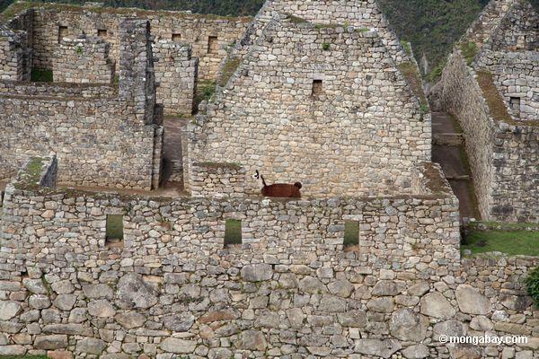 Lama marrom entre ruínas em Machu Picchu