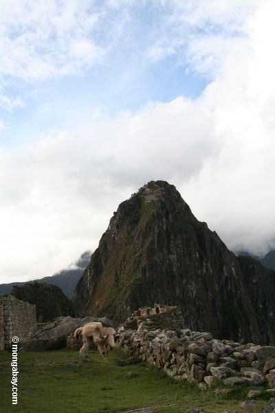 Lama em Machu Picchu